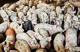 56 yaşındaki Rus kadını, beslediği domuzlar yedi