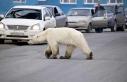 Sibirya'da 40 yıl sonra bir ilk: Aç ve bitkin...