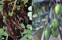 Lefkoşa bölgesinde zeytin ve harnup hasadına başlama...
