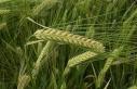 Nem ve sıcaklık, tahıl alanlarında hastalığa...