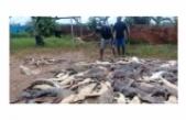 ENDONEZYA'DA ÖFKELİ KÖYLÜLER YAKLAŞIK 300 TİMSAHI ÖLDÜRDÜ