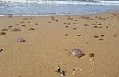 Görenleri şaşkına çeviren görüntü! Binlerce denizanası kıyıya vurdu