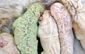 Doğum yapan köpek, fıstık yeşili yavru dünyaya getirdi