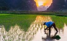 Fukuşima felaketin yaşandığı kasabaya pirinç ekildi