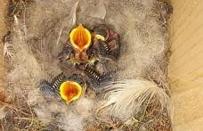 Telsim Ekoloji Ormanı'ndaki kuş yuvalarında ilk yavrular çıktı