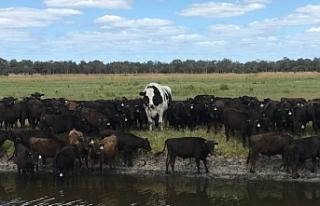 Avustralya: Dev öküz, boyutları sayesinde mezbahadan...