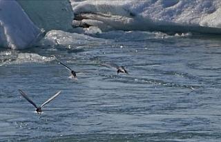 Kuzey Kutup bölgesi kuşlar için artık güvenli...