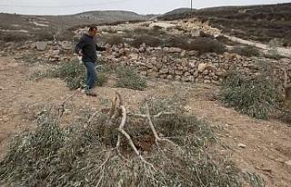 Yahudi yerleşimciler Filistinlilere ait 30 zeytin...