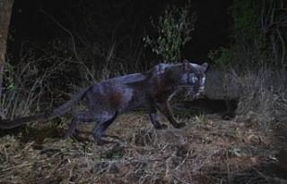Afrika'da bir asır aradan sonra siyah bir leopar...
