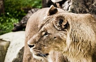Beslediği aslan tarafından öldürüldü