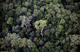 Dünyanın en uzun tropikal ağacı