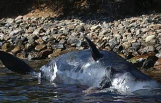 Plastik öldürmeye devam ediyor: Yeni kurbanı, hamile...