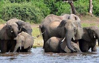 Botsvana fil avlama yasağını kaldırdı