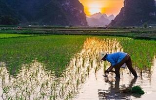 Fukuşima felaketin yaşandığı kasabaya pirinç...