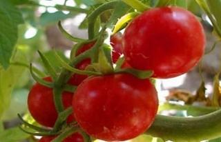 Yeşilköy'de domates güvesi ile biyoteknik mücadele...