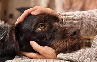 Köpekler, üzgün bakışlarını ilgi çekmek için...