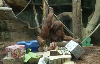 Orangutan Nenette için doğum günü partisi düzenlendi