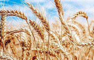 TÜK arpa,buğday ve tritikale alımına hafta başından...