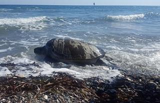 Deniz kaplumbağalarını koruma programına engel...