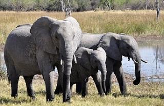 Afrika fillerinin hayvanat bahçelerine getirilmeleri...