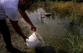 Çanakkale Göleti'ne sivrisinek larvalarını yiyen...