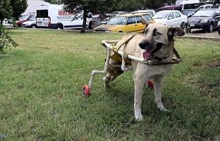 Yürüyemeyen köpeğe plastik borularla yürüteç...