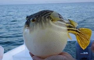 Balon Balığı teslim eden 49 balıkçıya 37 bin...