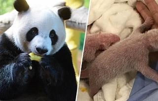Berlin'de bir hayvanat bahçesindeki panda ikiz...