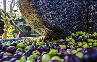Girne'de zeytin hasadı tarihleri açıklandı