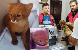 'Kedi yavruları' sanıp evde beslediği hayvanlar...