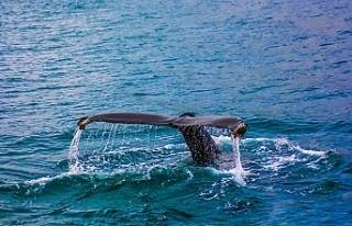 Norveç, balina avında Japonya'yı yakaladı