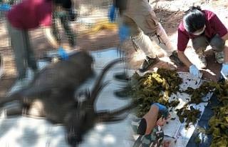 Tayland'da geyiğin midesinden 7 kilogram çöp...