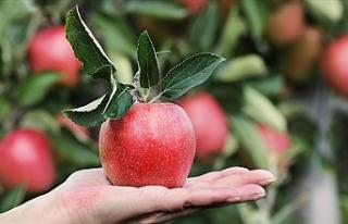 Buzdolabında 1 yıl saklanabilen elma satışa sunuldu