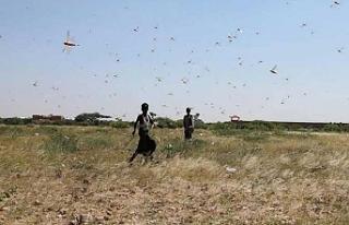 Somalililer, son 25 yılın en kötü çekirge istilasıyla...