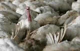 Macaristan'da kuş gribi paniği: 53 bin hindi itlaf...