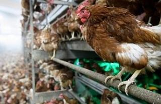 Polonya'da kuş gribi nedeniyle 100 binden fazla...
