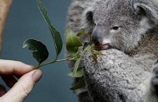 Avustralya katliama koalalarla devam ediyor