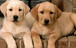 Girne Belediyesi, 'Köpek Bulundurma Ruhsatı'...