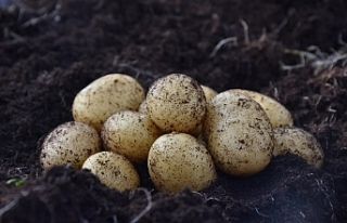 Kuzey Kıbrıs'ta yeni patates çeşitleri deneniyor