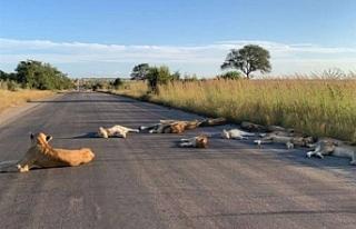 Aslanlar boşalan yolda keyif yaptı
