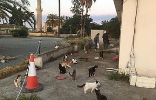 Hala Sultan Tekkesindeki kediler için bakım ve yem...