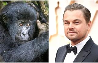 Leonardo DiCaprio'dan Afrika'daki gorillere...