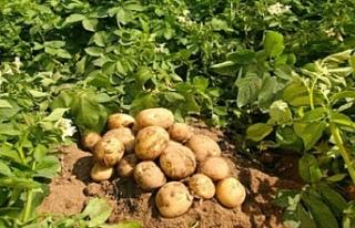 """Yunan patateslerini """"Kıbrıs Patatesi"""" gibi göstermek..."""