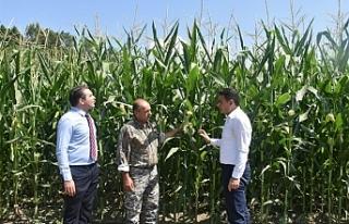 Oğuz, mısır üretim alanlarını inceledi