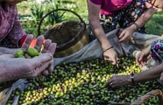 Gazimağusa'da hasat tarihleri belirlendi