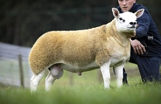 İskoçya'da dünyanın en pahalı koyunu 3 milyon...
