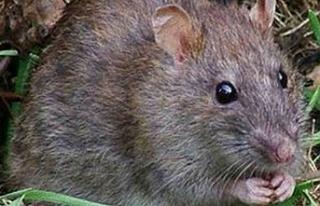 Tarım Dairesi fare mücadelesi konusunda açıklama...