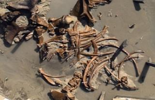 Havalimanı inşaatında mamut iskeletleri bulundu