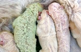 Doğum yapan köpek, fıstık yeşili yavru dünyaya...