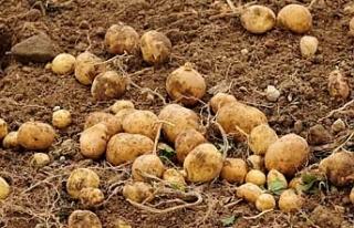 Patates ekimi yapılan arazilerin, yarına kadar beyan...